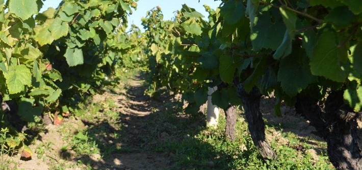 4-vignes-templerie-jeremie-huchet